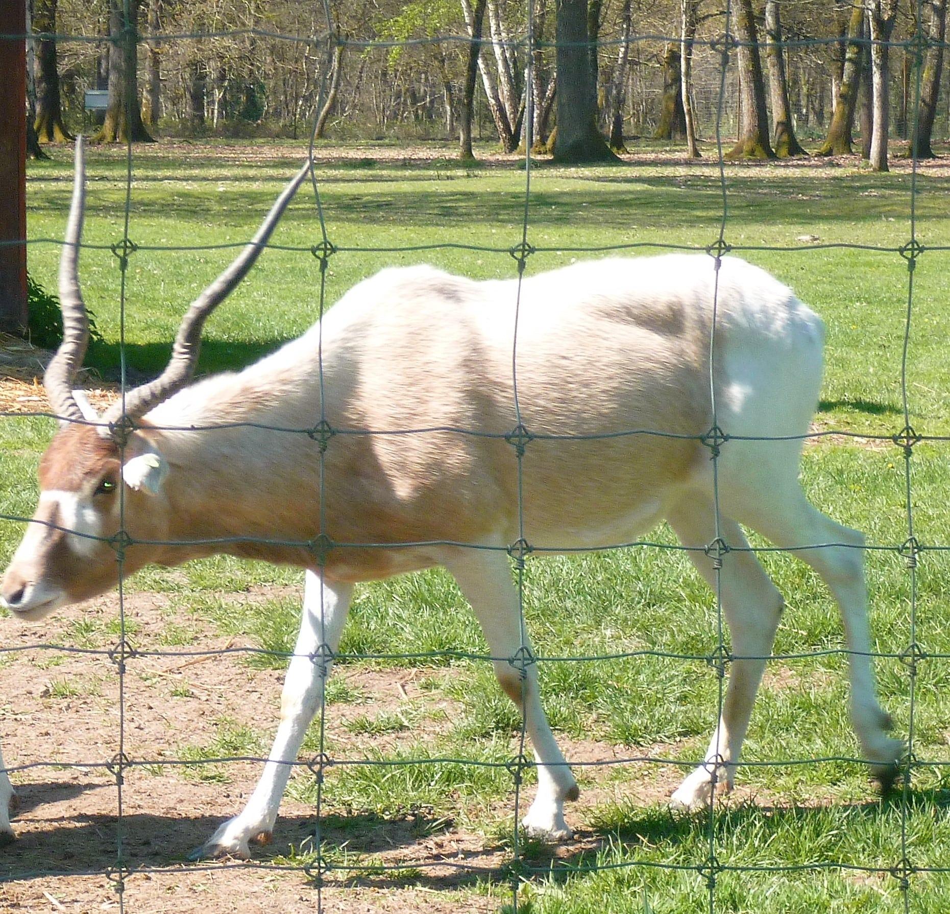antilope cervicapre
