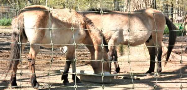 cheval de przewalski .JPG