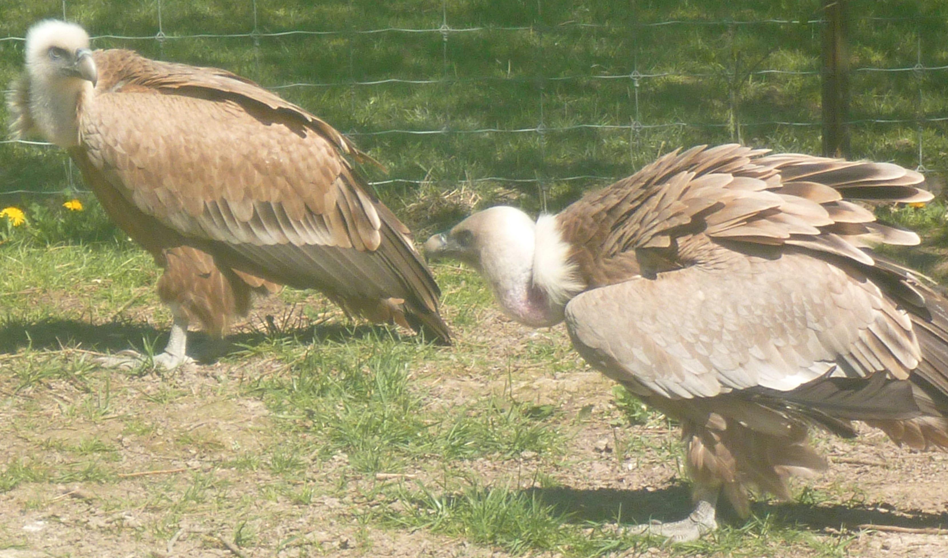 vautours fauve